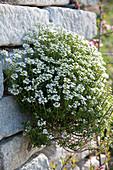 Blühende Schleifenblume in Trockenmauer