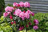 Rhododendron yakushimanum 'Morgenrot' und Elfenblume