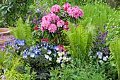 Schattenbeet mit Rhododendron yakushimanum 'Morgenrot', Straußfarn, Hornveilchen 'Blue Moon' und Goldlack