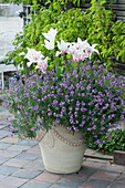 Lilienblütige Tulpen 'Marylin' mit Goldlack Poem 'Lavender' im Kübel