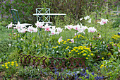 Lilienblütige Tulpen 'Marylin' und Wolfsmilch mit Beeteinfassung aus Eisen