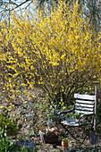 Blühendes Goldglöckchen im Garten, Gartenstuhl, Korb mit Utensilien und Spaten