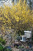 Blühendes Goldglöckchen im Garten, Zinkeimer als Osternest auf Gartenstuhl, Korb mit Utensilien und Spaten