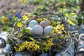 Osternest aus Zweigen von Goldglöckchen, Hainbuche, Kornelkirsche und Gräsern, gefüllt mit Ostereiern