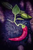 Frische rote Chilischote mit Blättern