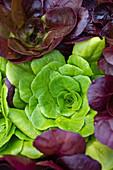 Various lettuces