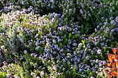 Blühender Sand-Thymian und Lavendel im Beet