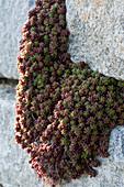 Teppich-Fetthenne 'Coral Carpet' in Trockenmauer