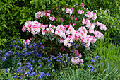Schattiges Beet mit Rhododendron 'Silberwolke' und Akelei