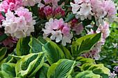 Rhododendron 'Silberwolke' und Funkie 'Frances Williams'