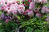 Schattiges Beet mit Rhododendron 'Silberwolke', Funkien und Akelei