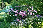 Schattiges Beet mit Rhododendron 'Silberwolke', Beinwell und Hasenglöckchen, Acapulco-Chair