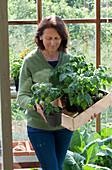Frau holt Kiste mit Tomaten-Jungpflanzen aus dem Geäwchshaus
