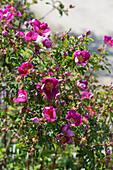 Alpenrose, Hängefrucht-Rose