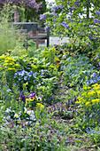 Weg im Frühlingsbeet mit Wolfsmilch, Hornveilchen, Lungenkraut, Günsel, Gedenkemein und Flieder