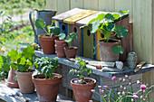 Töpfe mit Tomatenpflanzen und Kapuzinerkresse mit Vogelhäuschen auf Blumentreppe