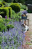 Beet mit blühender Katzenminze, Zierlauch und Buchs, Hund Zula