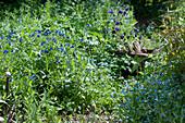 Blaue Frühlingsblumen im Garten: Vergißmeinnicht, Steinsame und Akelei