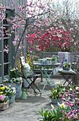 Frühlingsterrasse mit Pfirsichbäumen, Primeln, Hornveilchen, Narzissen, Goldglöckchen, Tausendschön, Milchstern, Traubenhyazinthen und Sitzgruppe