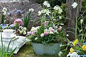 Schale mit weißen Schachbrettblumen, Tausendschön, Hornveilchen, Traubenhyazinthen und Thymian im Garten