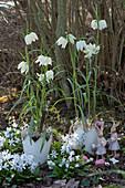 Osterdeko mit weißen Schachbrettblumen in Kronentöpfen und Osterhasen zwischen Milchstern im Garten