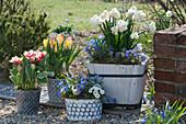 Topf-Arrangement mit Tulpen 'Toplips' 'Outbreak', Narzissen 'Erlicheer', Strahlenanemonen, Tausendschön, Blaustern und Hornveilchen