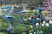 Kleine Sitzgruppe im Frühlingsgarten, Töpfe mit Hyazinthen, Tausendschön, Narzissen 'Toto' und Strahlenanemone, Hund Zula