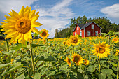 Sunflowers in a field, west coast of Finland