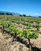 Weinstöcke vor Gebirgszug