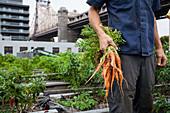 Mann hält frisch geerntete Karotten auf einer Dachfarm in Queens, NY