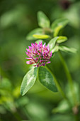 Meadow clover or red clover (Trifolium pratense)