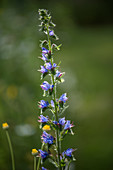 Viper's bugloss or blueweed (Echium vulgare)