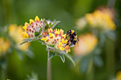 A bumblebee on a kidney vetch (anthyllis vulneraria)