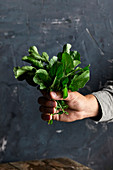A hand holds freshly picked arugula leaves