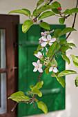 Zweig mit Apfelblüten vor Fensterladen