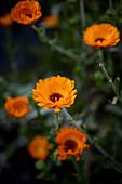 Blühende Ringelblumen im Garten
