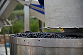 Red wine grapes being processed