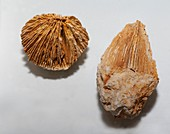 Fossil coral