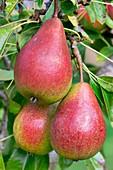 Pear (Pyrus communis 'Doyenne d'Ete') in fruit