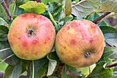 Apple (Malus domestica 'Sunset') in fruit