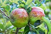 Apple (Malus domestica 'Nelson's Favourite') in fruit