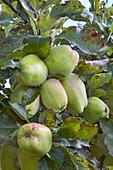 Apple (Malus domestica 'Lady's Finger of Lancaster')