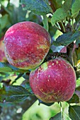 Apple (Malus domestica 'Mother') in fruit