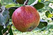 Apple (Malus domestica 'Millicent Barnes') in fruit
