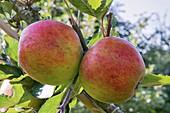 Apple (Malus domestica 'Holstein') in fruit