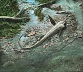 Cartorhynchus prehistoric marine reptile, illustration