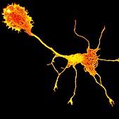 Single cortical neuron, light micrograph