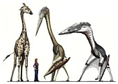 Pterosaurs, giraffe and human, illustration