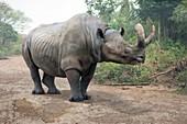 Megacerops extinct rhino, illustration