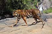 Ngandong tiger, illustration